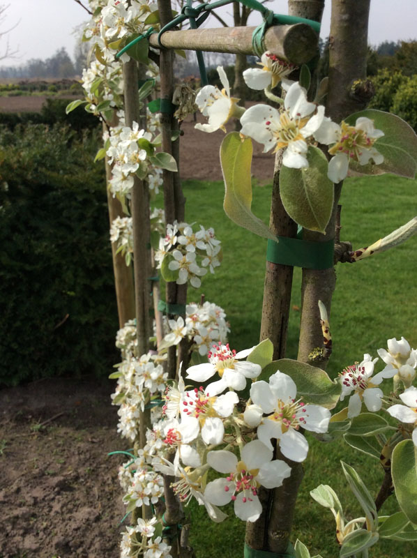 bloei perenboom jolie jolie